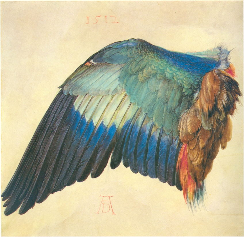 Albrecht Dürer, Wing of a Blue Roller, 1500 or 1512, watercolour and bodycolour on vellum, 19.6 x 20 cm. Albertina, Vienna (WikiArt).