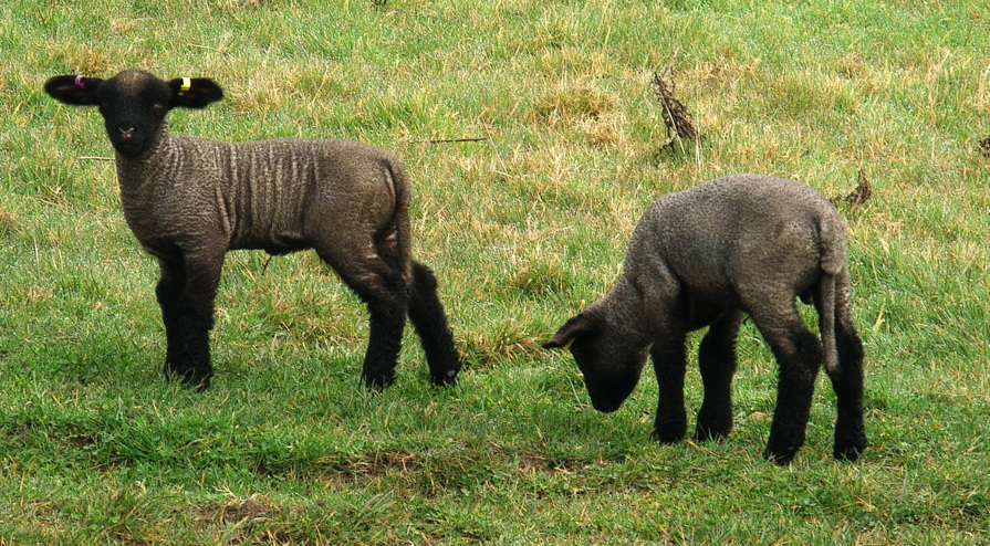 Young Hampshire Down lambs, Appuldurcombe Farm, Isle of Wight, March 2015.
