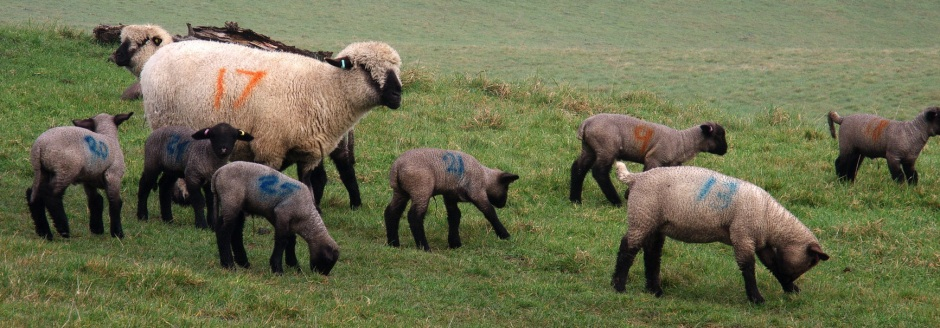 Number madness among Hampshire Down lambs at Appuldurcombe Farm, Isle of Wight, March 2015.
