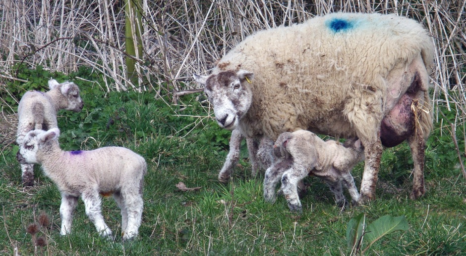 Spring lambs, probably destined to be Spring Lamb. Wroxall, Isle of Wight, 27 March 2015.