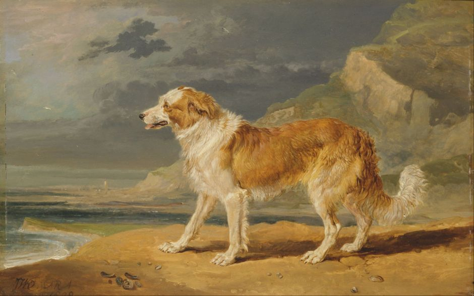 wardroughcoatedcollie