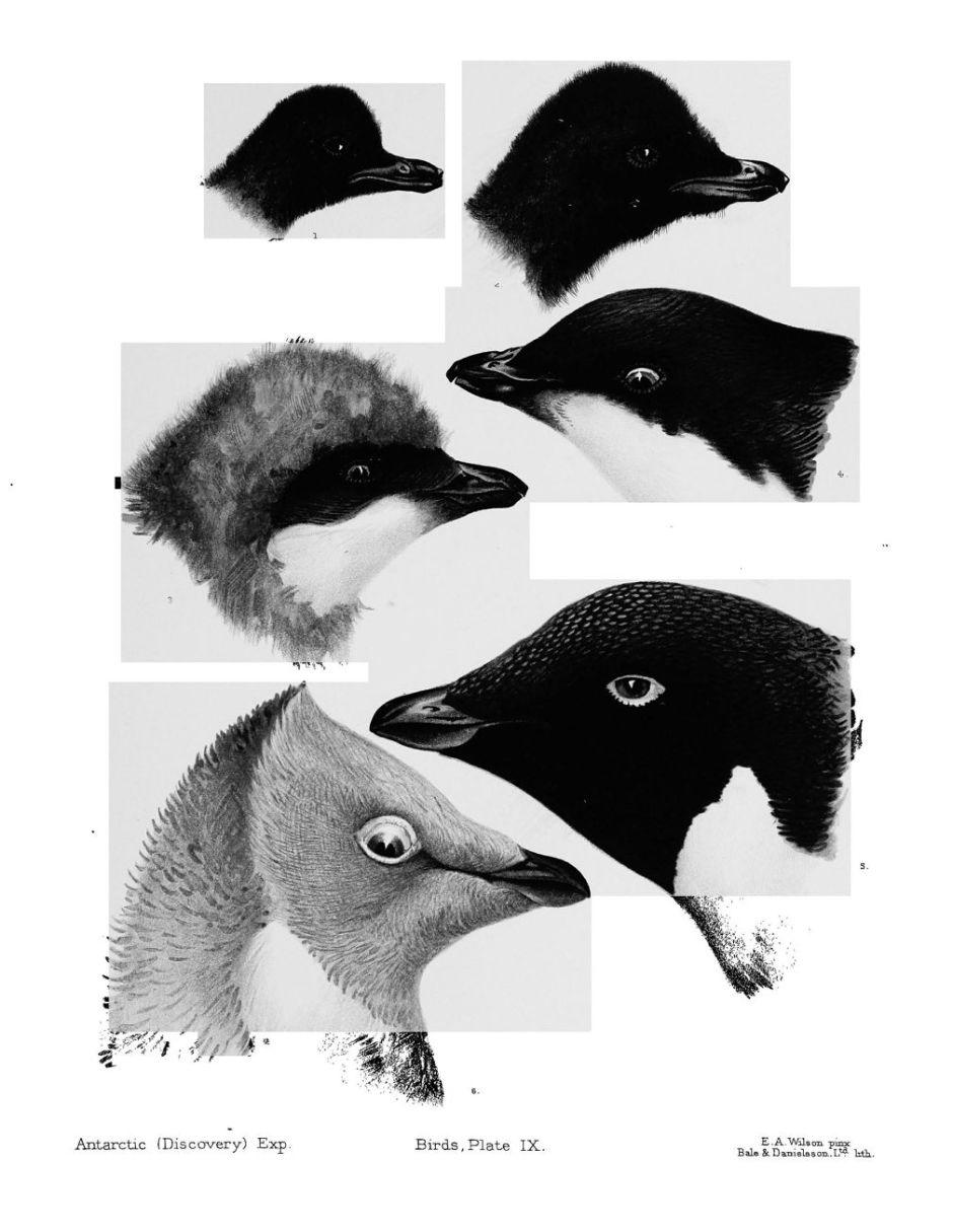 wilsonnaturalhistorypenguins2