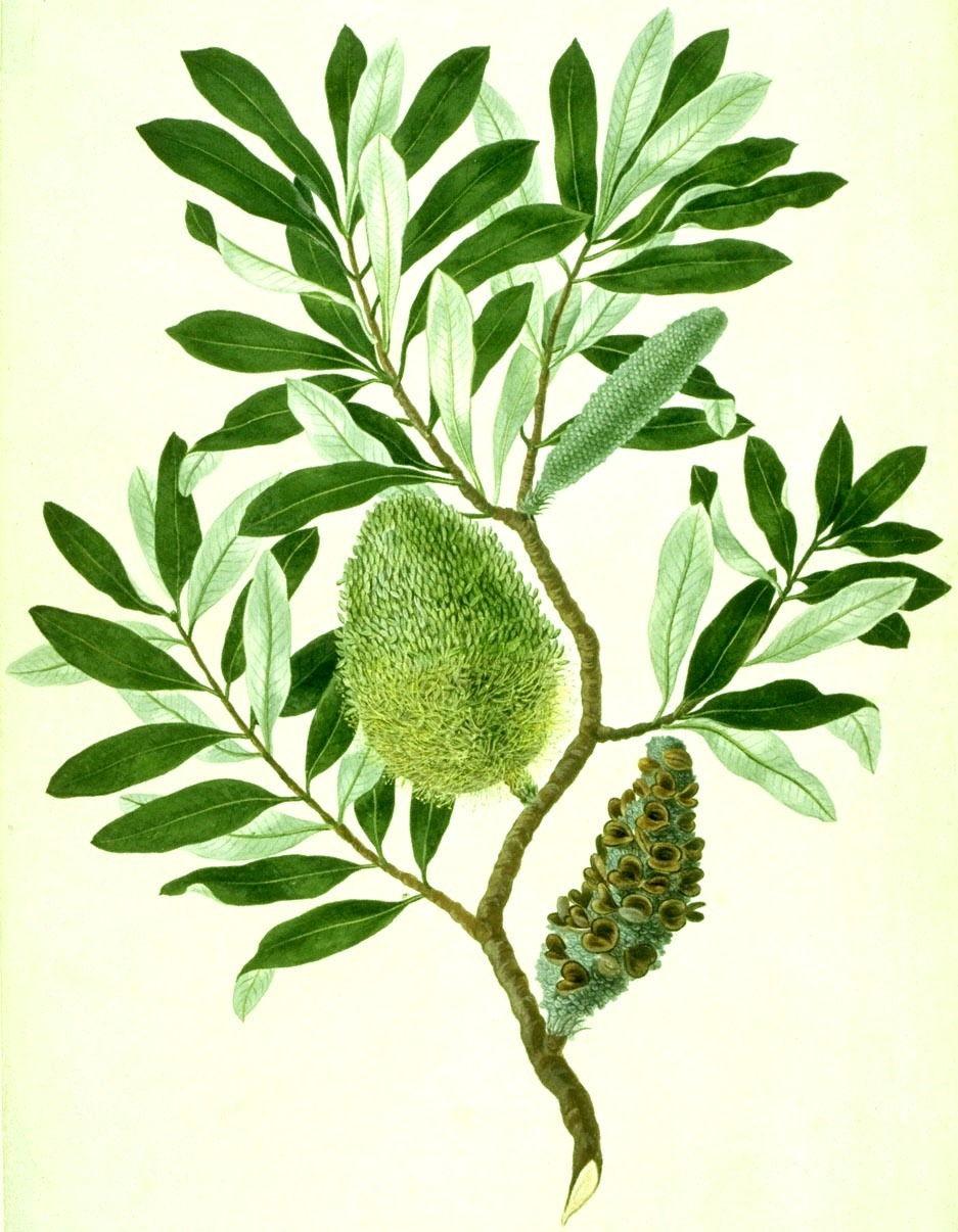 parkinsonbanksiaintegrifolia