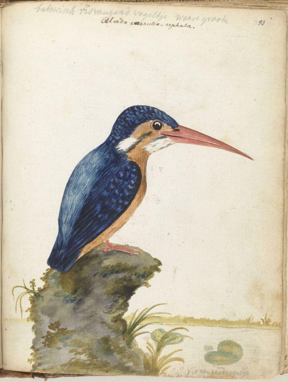brandesbatavianbird