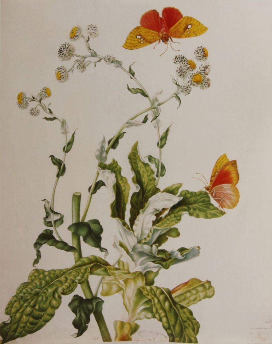 merianstrawflower