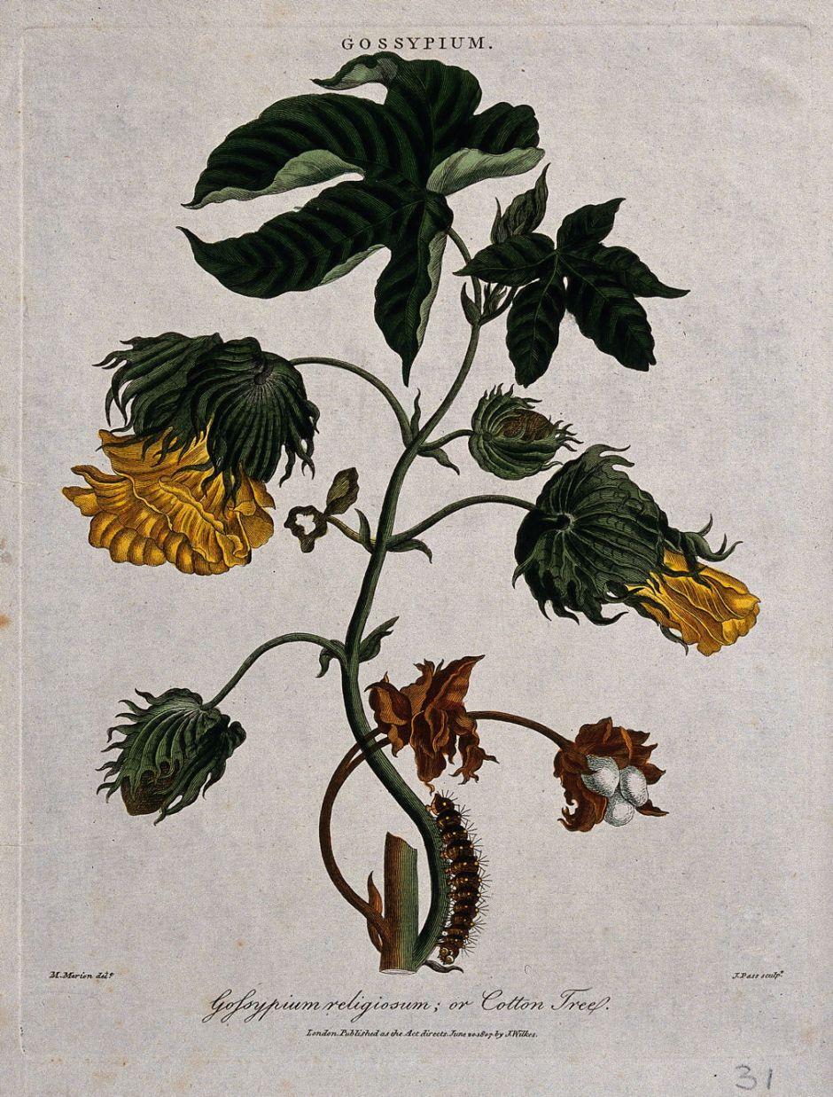 V0044339 Tree cotton (Gossypium arboreum): flowering and fruiting ste