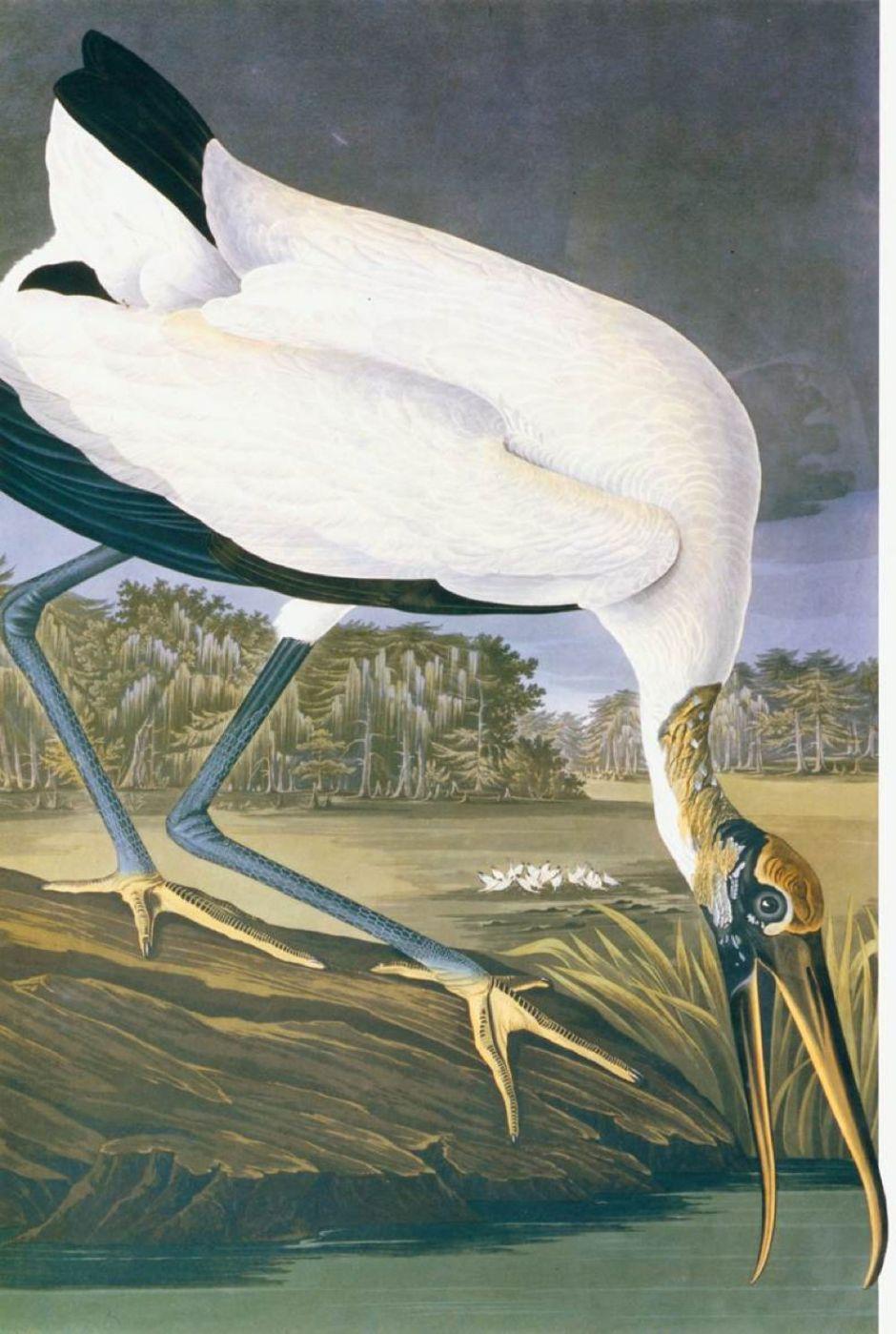 audubonamericanstork
