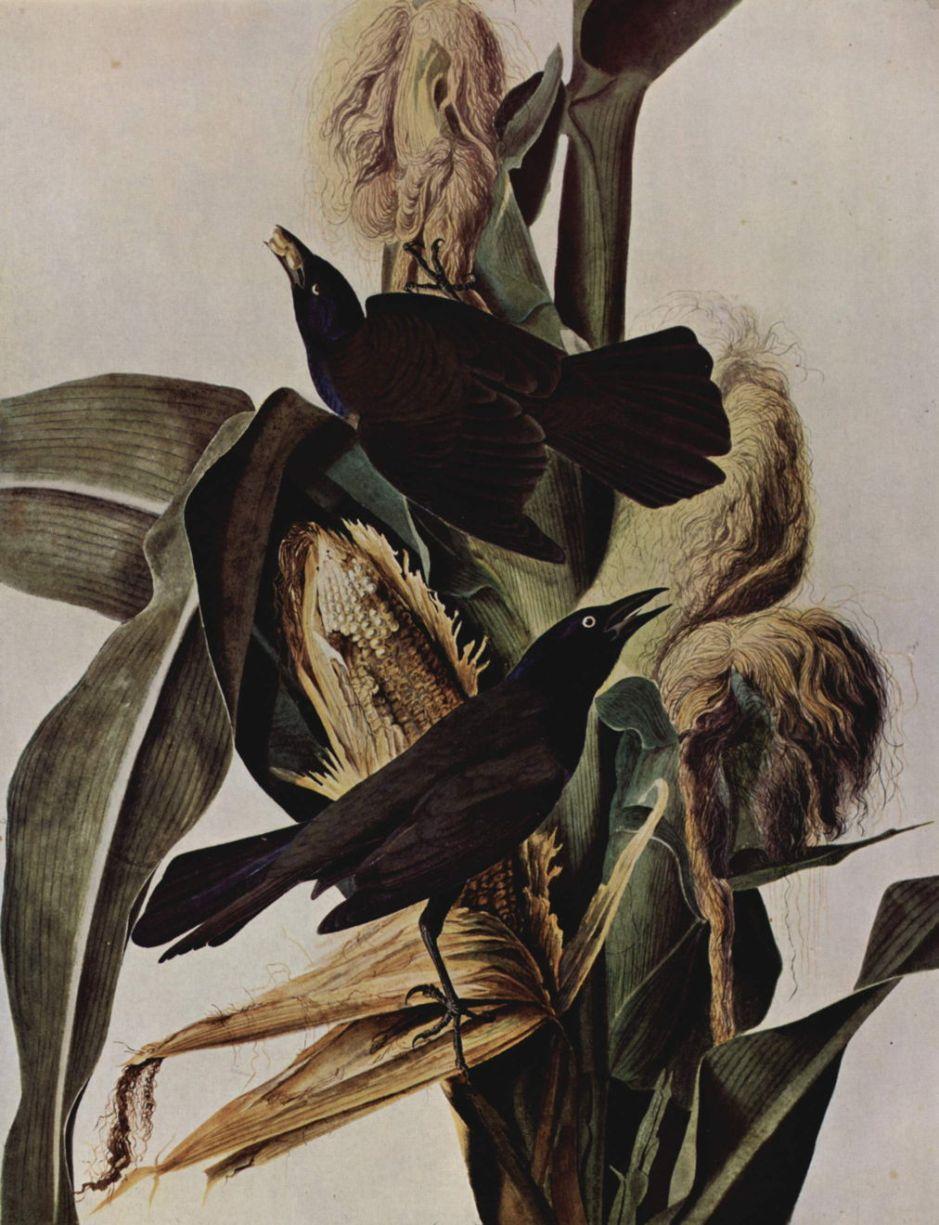 auduboncommongrackle