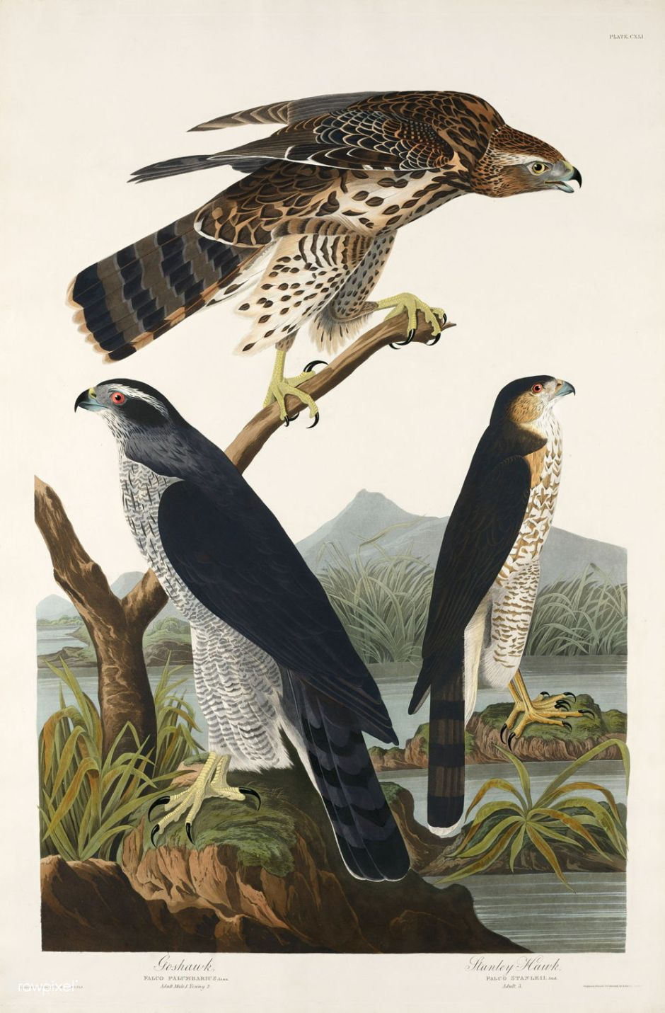 Goshawk and Stanley Hawk from Birds of America (1827) by John James Audubon (1785 - 1851), etched by Robert Havell (1793 - 1878). The original Birds of America is the most expensive printed book in the world and a truly awe-inspiring classic.