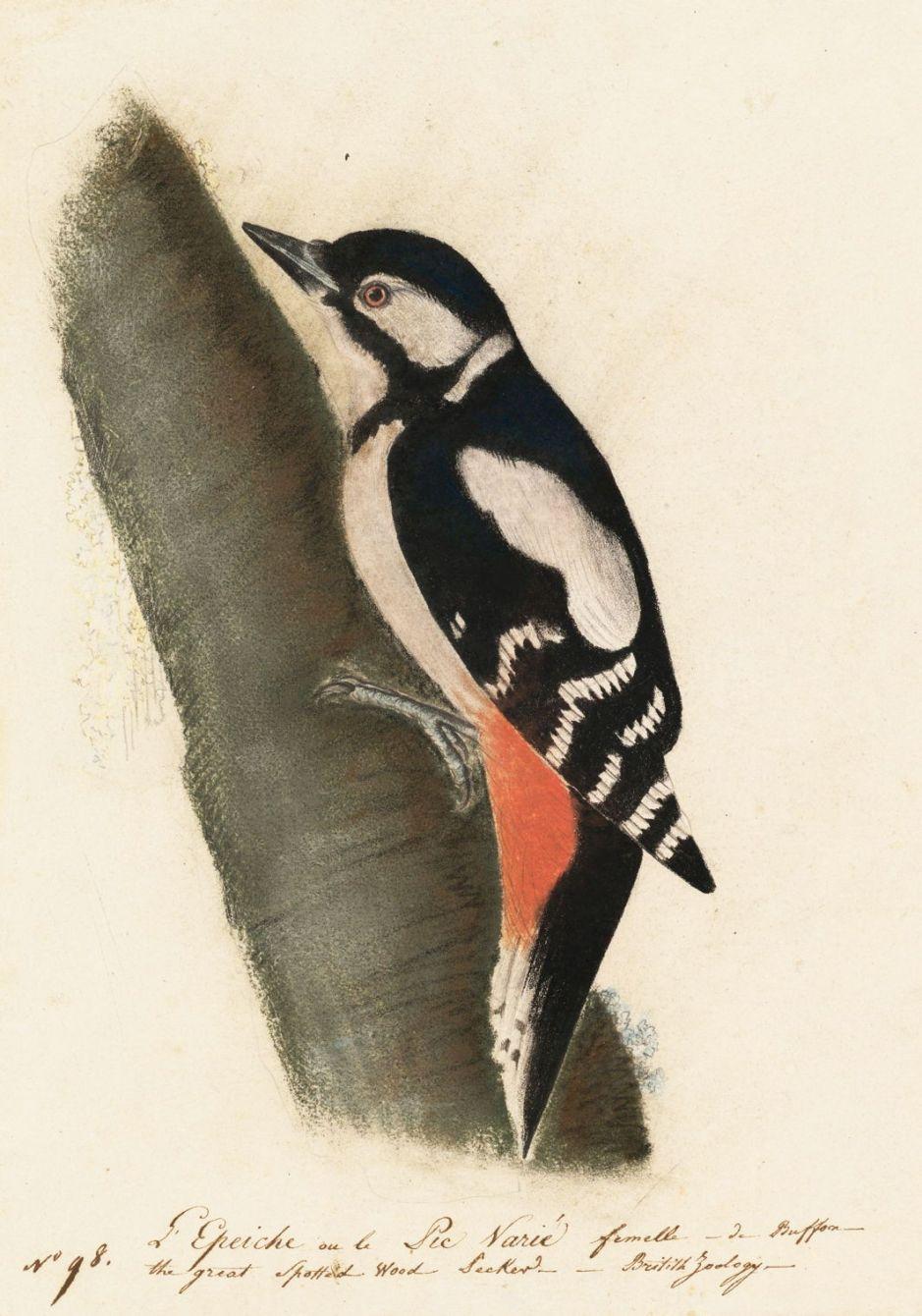 audubongreatspottedwoodpecker