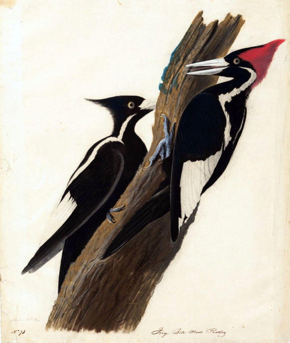 audubonivorybilledwoodpecker