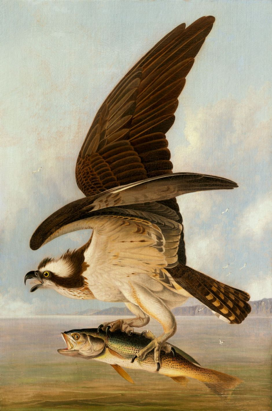 Osprey and Weakfish
