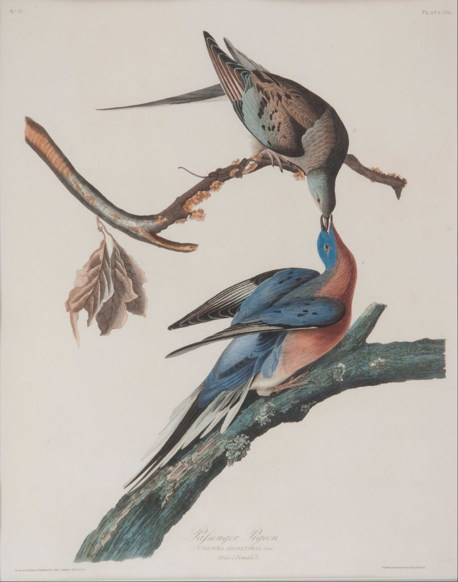 audubonpassengerpigeon
