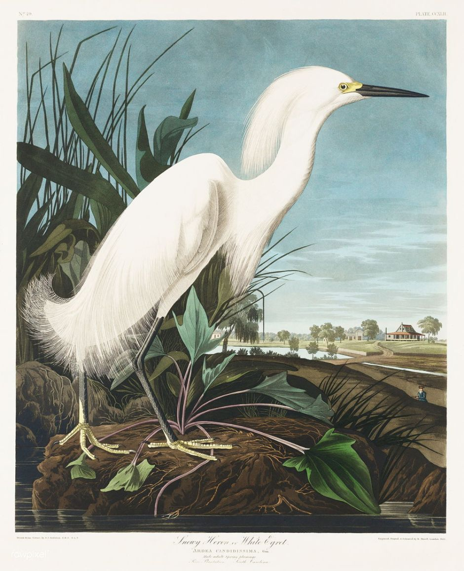 Snowy Heron, or White Egret from Birds of America (1827) by John James Audubon (1785 - 1851), etched by Robert Havell (1793 - 1878). The original Birds of America is the most expensive printed book in the world and a truly awe-inspiring classic.